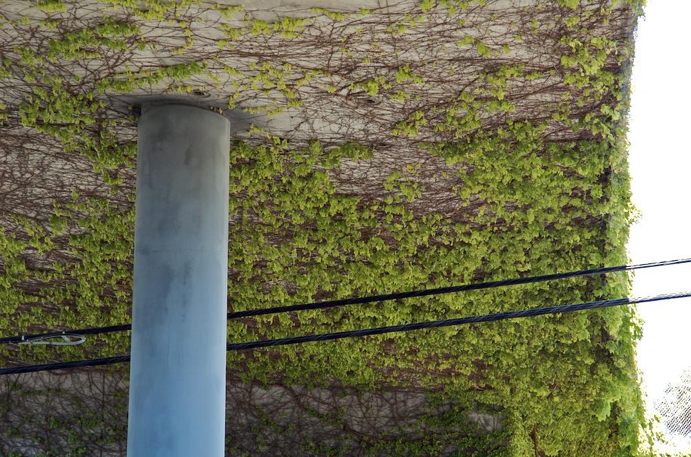 Underside ivy #2